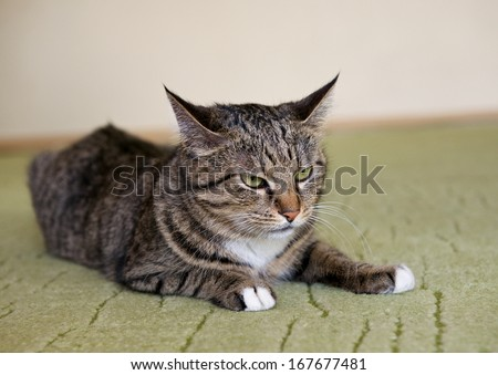 Cat, resting cat, angry cat, cat close up, domestic cat, selective focus to the cat, grey angry cat at home, not happy cat, domestic animal - stock photo