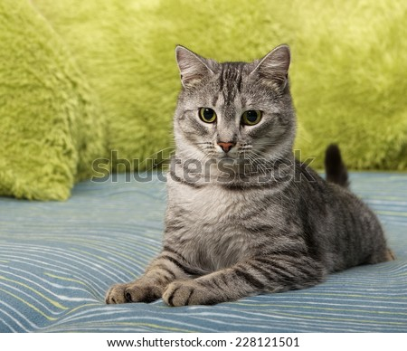 Cat, resting cat on a sofa, cute calm cat close up, young cat, domestic cat, relaxing cat, cat resting, lazy cat on day time, portrait of elegant domestic, animals, cat with green eyes, elegancy - stock photo