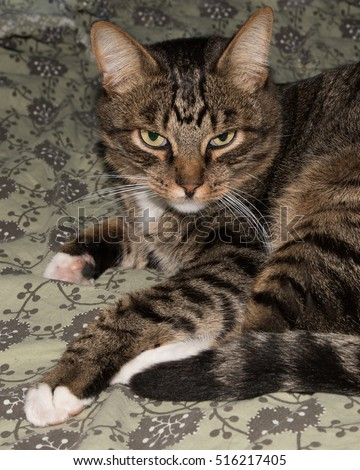 Cat, resting cat on a sofa in blur background, cute funny cat close up,  relaxing cat, cat resting, cat playing at home, elegant cat