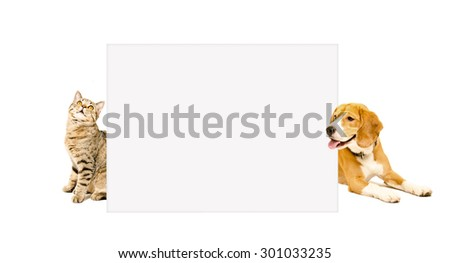 Cat Scottish Straight and beagle dog peeking from behind poster, isolated on white background - stock photo