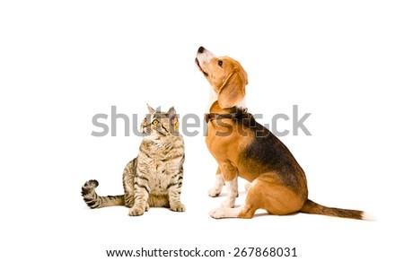 Cat Scottish Straight  and Beagle dog sitting together isolated on white background - stock photo