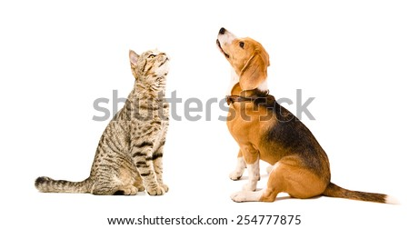 Cat Scottish Straight and beagle dog sitting together looking up isolated on white background