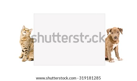 Cat Scottish Straight and puppy pit bull peeking from behind banner, isolated on white background - stock photo