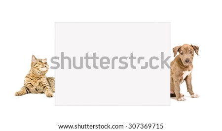 Cat Scottish Straight and puppy pit bull peeking from behind poster, isolated on white background  - stock photo