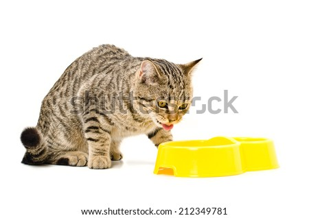 Cat Scottish Straight  eats isolated on white background - stock photo