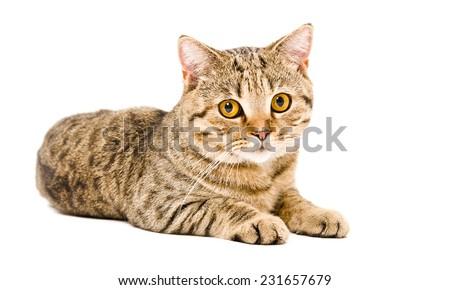 Cat Scottish Straight lying isolated on white background - stock photo