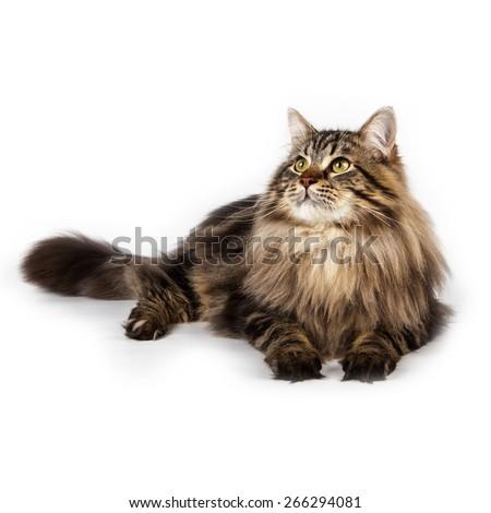 cat Siberian breed Isolated on white background - stock photo