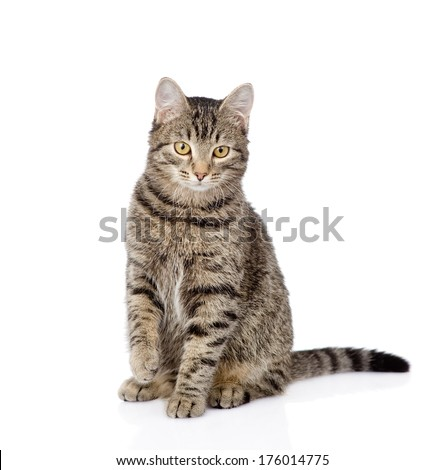 cat sitting in front and looking at camera. isolated on white background