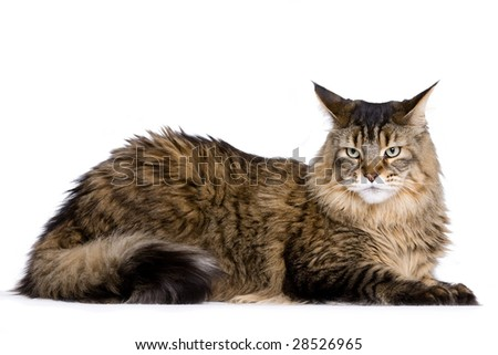 Cat sitting, Maine coon - stock photo