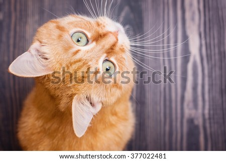 Cat sitting on the wooden floor looking up - stock photo