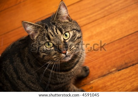 cat sitting on wooden floor - stock photo
