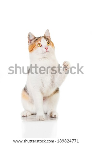 Cat sitting with paw in the air isolated on white - stock photo