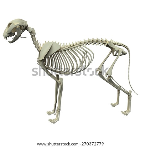 Cat Anatomy Bones - skeletal anatomy of the domestic cat chart