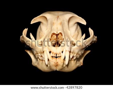 Cat skull (Felis silvestris catus). - stock photo