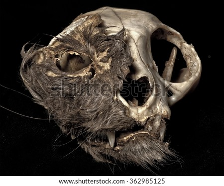 Cat skull in extreme decomposition. - stock photo