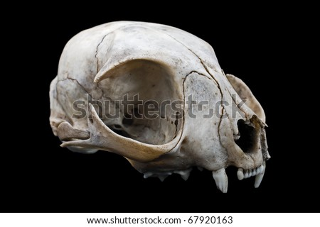 Cat Skull Stock Images Royalty Free Images Amp Vectors