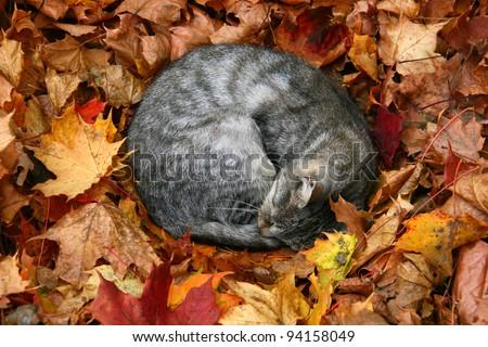 cat sleeping in bright autumn leaves in Druskininkai, resort in Lithuania - stock photo