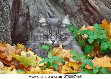 cat sleeps in fallen yellow maple leaves - stock photo