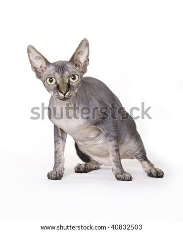 Cat, Sphynx - stock photo