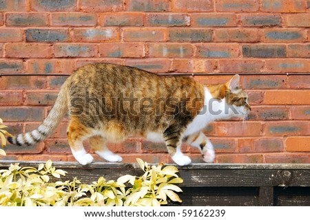 Cat stalking along a garden fence in front of a wall - stock photo
