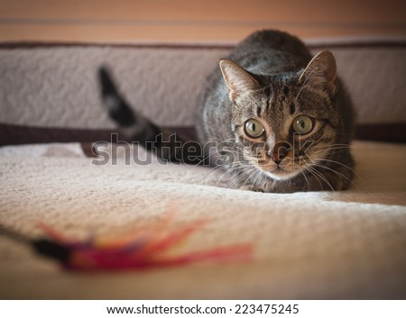 Cat stalking his feather toy at home. - stock photo