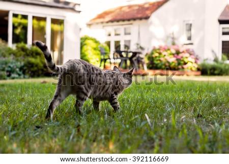 Cat stalking in the garden - stock photo