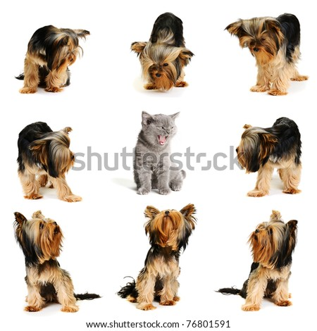 cat surrounded by dogs isolated on white
