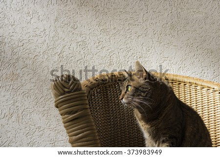 Cat - Tabby cat on the chair looking the sun - stock photo