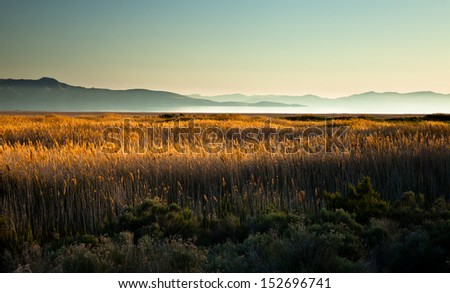 Cat tail field at sunset - stock photo