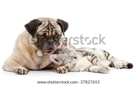 cat take a nap while pug looking after - stock photo
