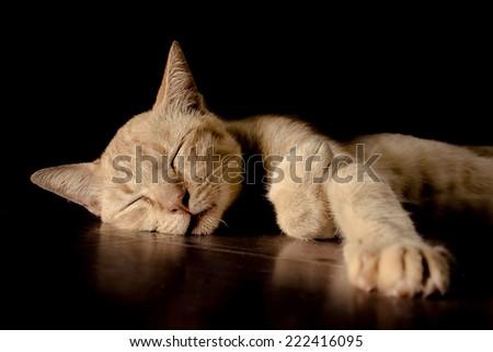 cat thai over black background. - stock photo