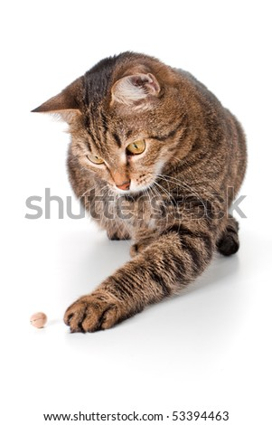 Cat touches a pistachio the left paw - stock photo