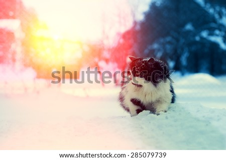 Cat walking in snow at sunset - stock photo