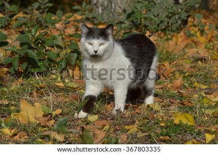 cat walking on autumn leaves - stock photo