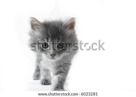 Cat walking towards the camera over white background