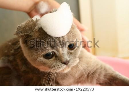 cat wash - stock photo