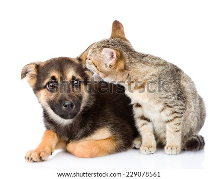 cat whispers secrets to dog's ear. isolated on white background - stock photo