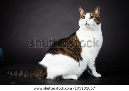 Cat White Brown Spotted Isolated On Stock Photo (Edit Now)- Shutterstock