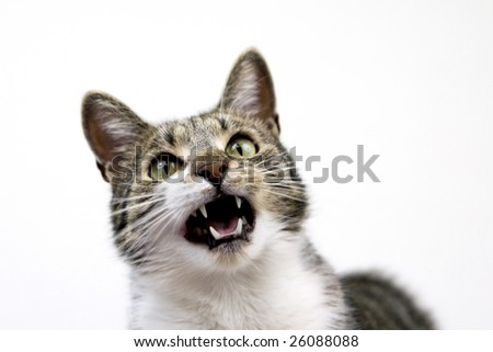 Cat who is meowing. - stock photo