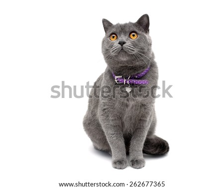 cat with a collar isolated on a white background close-up. horizontal photo. - stock photo