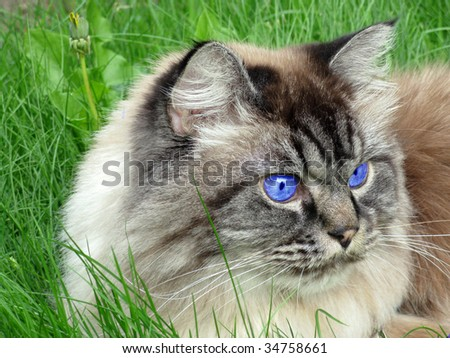 Cat with Blue Eyes - stock photo