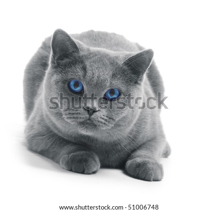 Cat with blue eyes isolated on white - stock photo