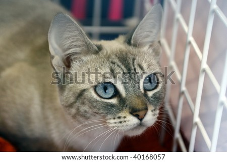 Cat with blue eyes kept in cage - stock photo