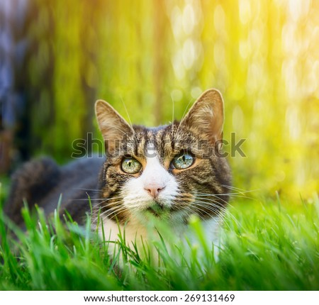 Cat with different colored eyes hunting in the summer garden , close up - stock photo