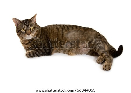 Cat With Fur Loss Laying on White Background - stock photo