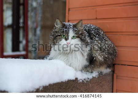 Cat with green eyes on snow. Cat on snow. Cat with green eyes. - stock photo