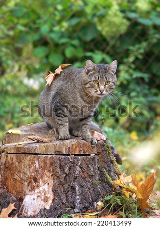 cat with leaves sitting on a tree stump and looks, autumn, Russia - stock photo