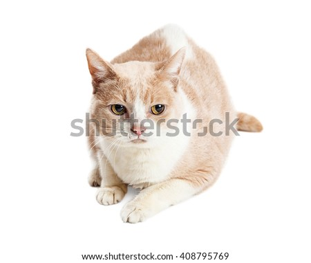 Cat with light color fur laying on white background with unhappy expression
