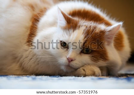 cat with pedigree lie on the floor - stock photo