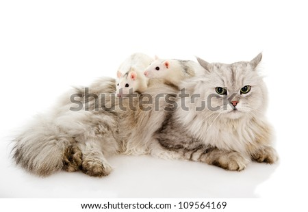 cat with  rats. isolated on white background - stock photo